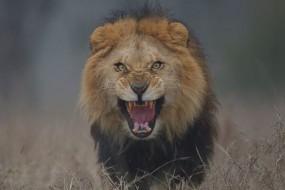 为了拍这只狮子,摄影师都吓哭了!