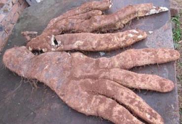 四川大爷自家后院挖出29斤巨型奇特蔬菜:长4根大手指