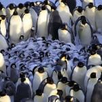 一群企鹅在外边围成一圈,里边是一群小企鹅