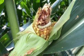 新研究发现转基因玉米没能成功抵御虫害