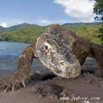 世界最大蜥蜴科莫多龙。