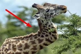 趣闻:太憋屈!长颈鹿为争女友干架被同伴打弯脖子