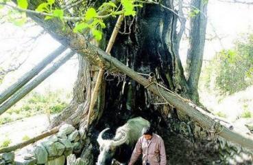 两千年古老银杏树四十年前被雷电击中濒临死亡 如今又恢复生机