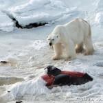 北极熊捕食海豚