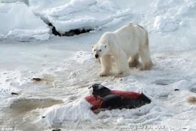 气候变暖导致北极熊怪行为:捕食海豚还会冷藏剩余尸骸