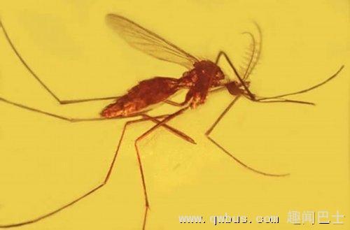 琥珀显示疟疾古已有之 发病机理已存在亿年