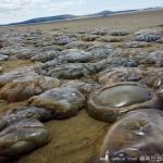 英国沙滩大量巨型水母搁浅 好似外星生物