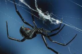 雄性西部黑寡妇蜘蛛利用嗅觉避开饥饿雌性