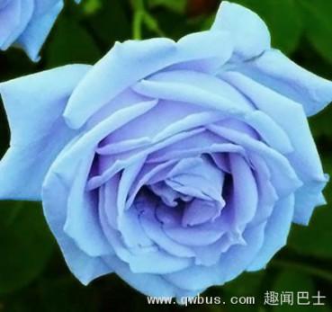 流言揭秘:蓝色妖姬是天然的蓝色花朵吗?