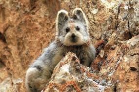 伊犁鼠兔比大熊猫还珍稀 野外已濒临灭绝