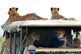 饥饿猎豹跳上车与游人对视