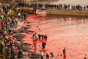 丹麦捕鲸节200多头鲸鱼被捕杀 染红海水