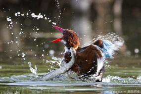抓拍翠鸟与水蛇搏斗的生死瞬间