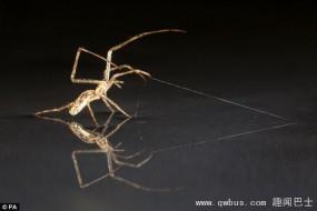 蜘蛛不但会吐丝 还可用腿做帆借风力在水面行走