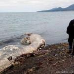 俄罗斯海滩惊现怪兽尸体 外形似海豚有浓密毛发