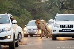 狮子在车前猎杀羚羊 乘客吓傻