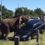 大象赌气掀翻轿车