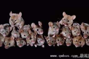 两只老鼠荒岛求生 5个月繁殖68只
