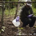 中国留学生家长在耶鲁大学校园荒地种菜