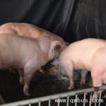 中韩科学家合作培育转基因猪 希望先在中国上市