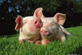 日本科学家将在猪体内培育人类器官