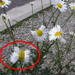 日本福岛长出变异菊花 疑似遭受核污染