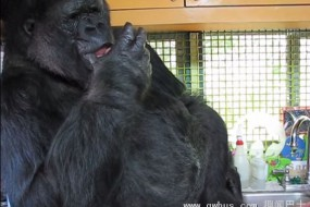 44岁老猩猩会说话 懂手语还能照顾小猫