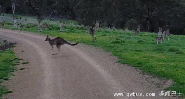 澳男子公园骑自行车遭袋鼠集体驻足凝视