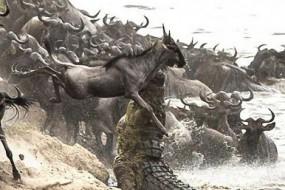 凶猛鳄鱼突袭角马30秒结束战斗