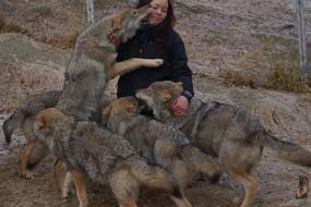挪威公园让游客与狼零距离 体验狼群文化