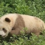 陕西发现罕见棕白色大熊猫