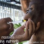 目睹猎人射杀母亲 印尼小红毛猩猩绝食