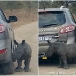 犀牛宝宝丧母将褐色汽车当妈妈祈求收养