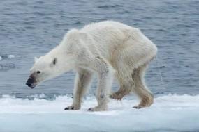 环境恶化使北极熊骨瘦如柴