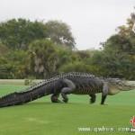 150条鳄鱼把他吃穷了 无奈只得捐给动物园