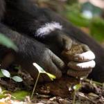 黑猩猩与猴类也在进化 已进入石器时代
