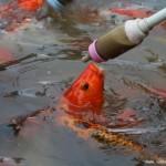 有趣!金鱼用嘴叼奶瓶吃食