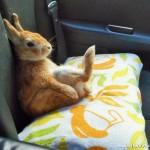 好奇兔子喜欢直立远望发呆