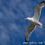 英国海鸥太欺人 居民找老鹰对付