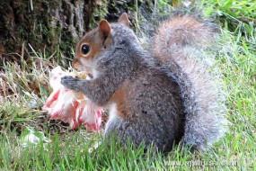 贪吃松鼠偷吃鲜花惹众怒
