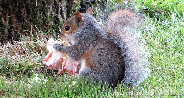 英松鼠墓地偷吃祭奠鲜花引众怒