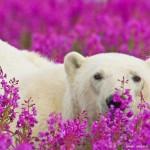 北极熊淹没在花海中 清凉又呆萌