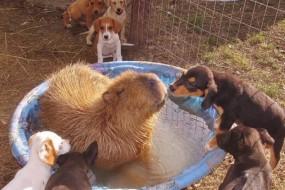 有爱水豚自告奋勇抚育哺育一窝小狗