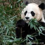 """大熊猫""""美香""""在美国产下健康双胞胎"""