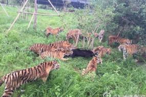 网友实拍野生动物园群虎袭击黑熊
