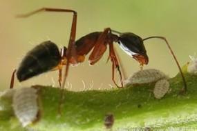 蚂蚁生病时会吃毒物自疗