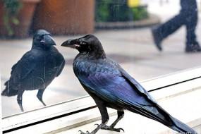 爱臭美的乌鸦对着路边橱窗搔首弄姿自言自语