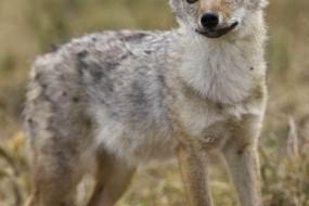 科学家发现新物种狼——非洲金豺