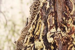 猎豹超强伪装术让自己隐于无形