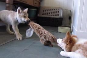 狼崽和小狗上演拔河大赛